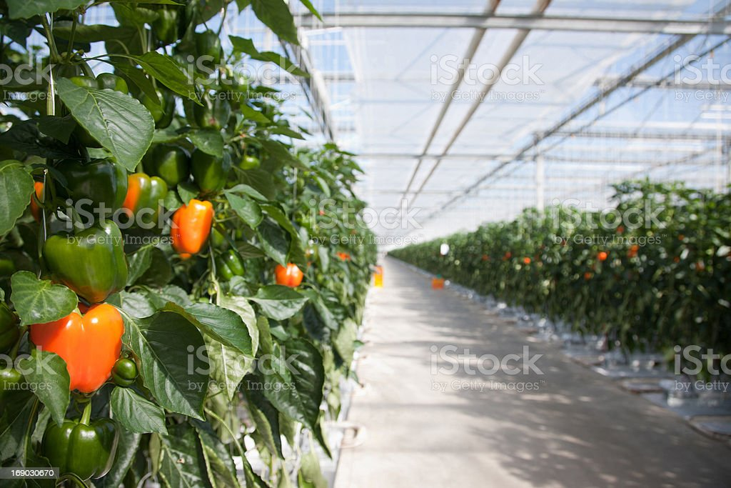 Produce growing in greenhouse stock photo