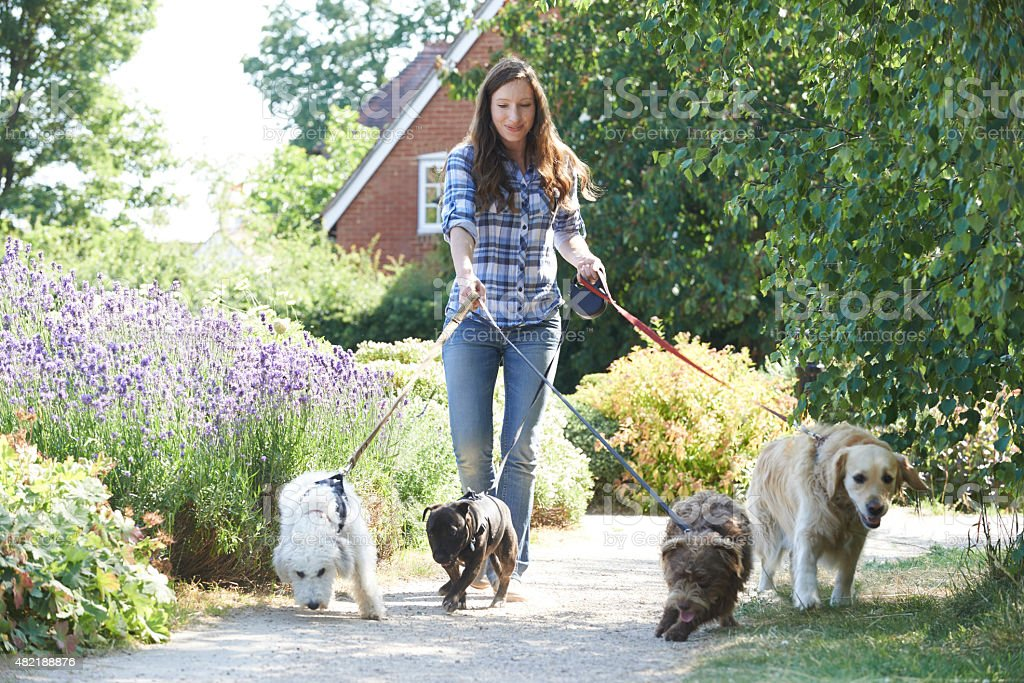 Professional Dog Walker Exercising Dogs In Park stock photo