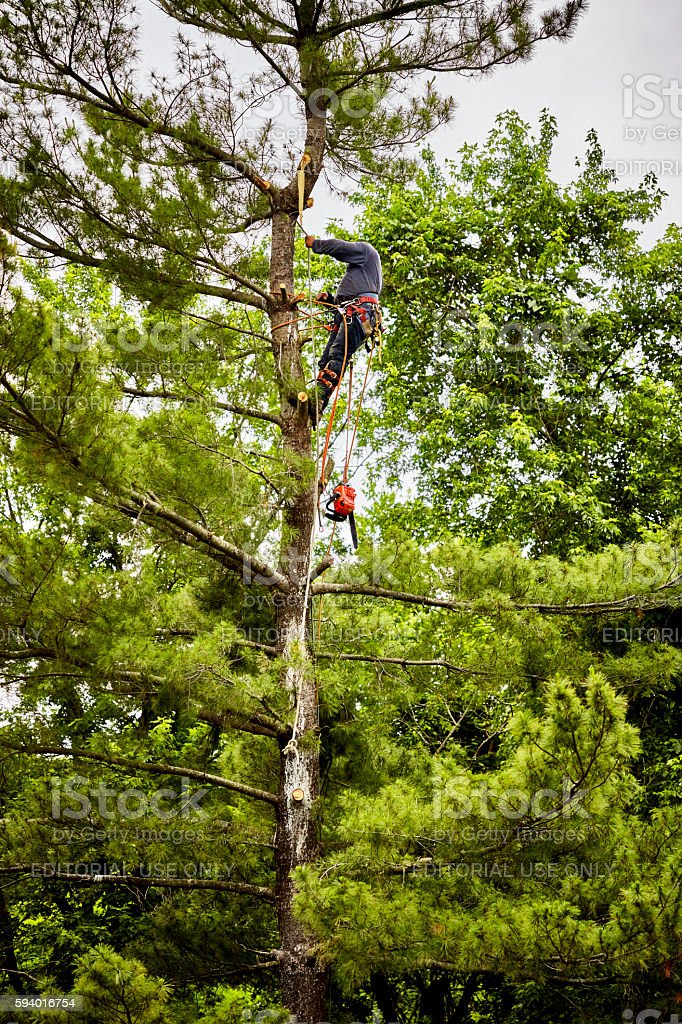 Professional Tree Trimmer climbing on a Tall Pine Tree stock photo