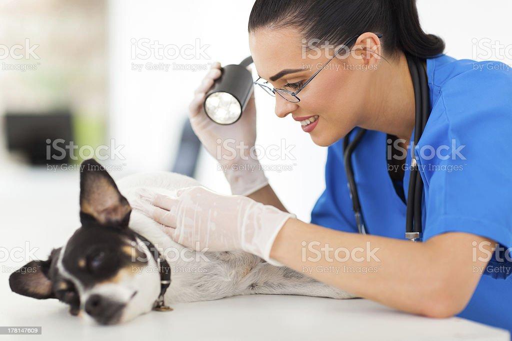 professional vet doctor examining pet dog skin stock photo