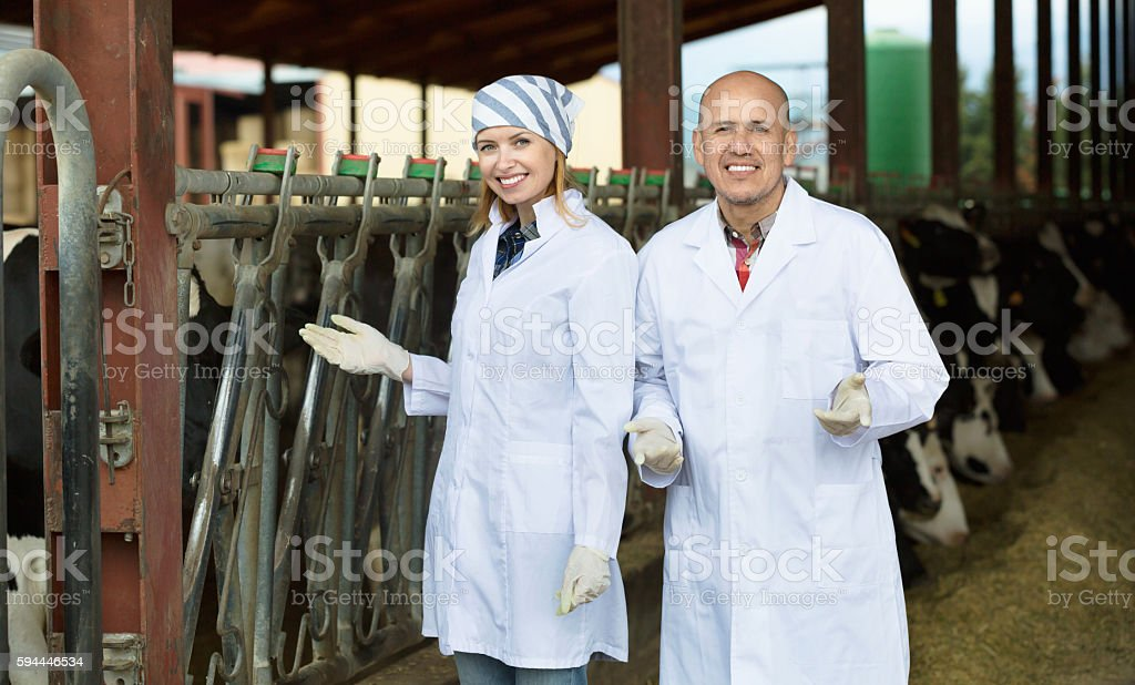 Professional workers in white gown taking care of dairy herd stock photo