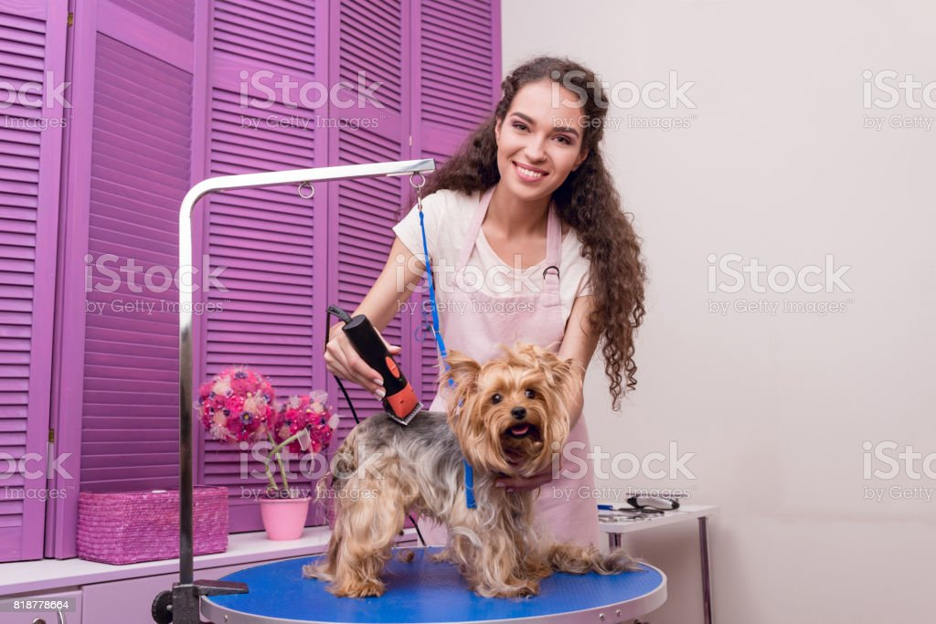 professional young groomer trimming yorkshire terrier dog with trimmer and smiling at camera stock photo