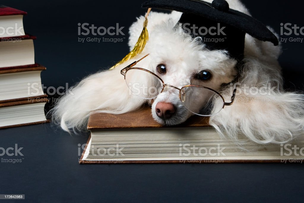 Professor Poodle or College Canine stock photo
