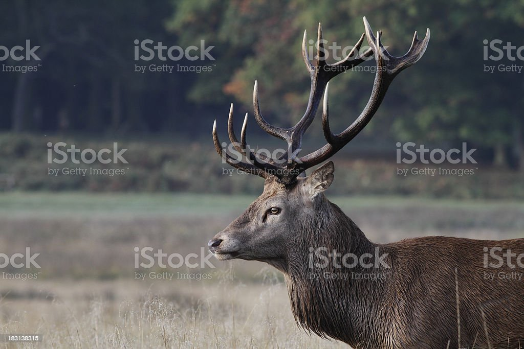 Red deer stag in rut autumn profile stock photo