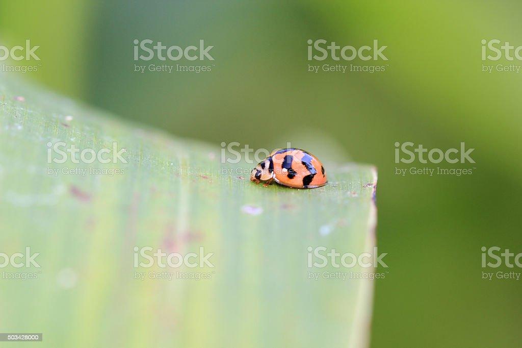 profile, harlequin ladybird stock photo