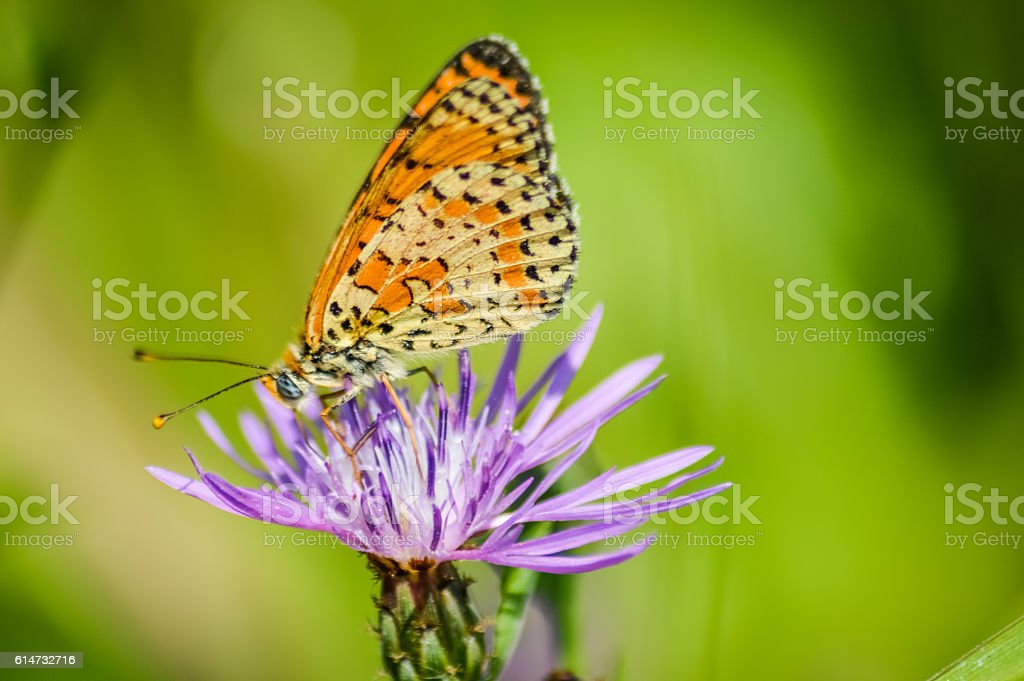 profile high brown fritillary on purple cornflower - Fabriciana adippe stock photo