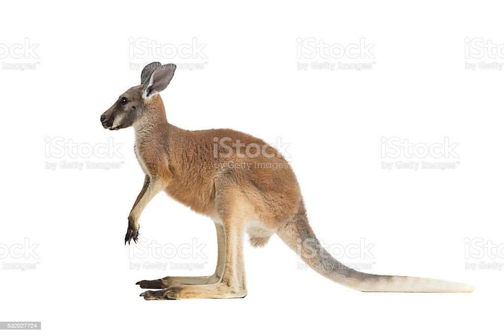 Profile of a Baby Red Kangaroo on a white stock photo