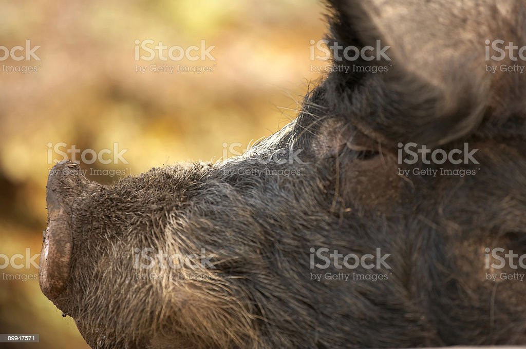 Profile of a Berkshire boar royalty-free stock photo