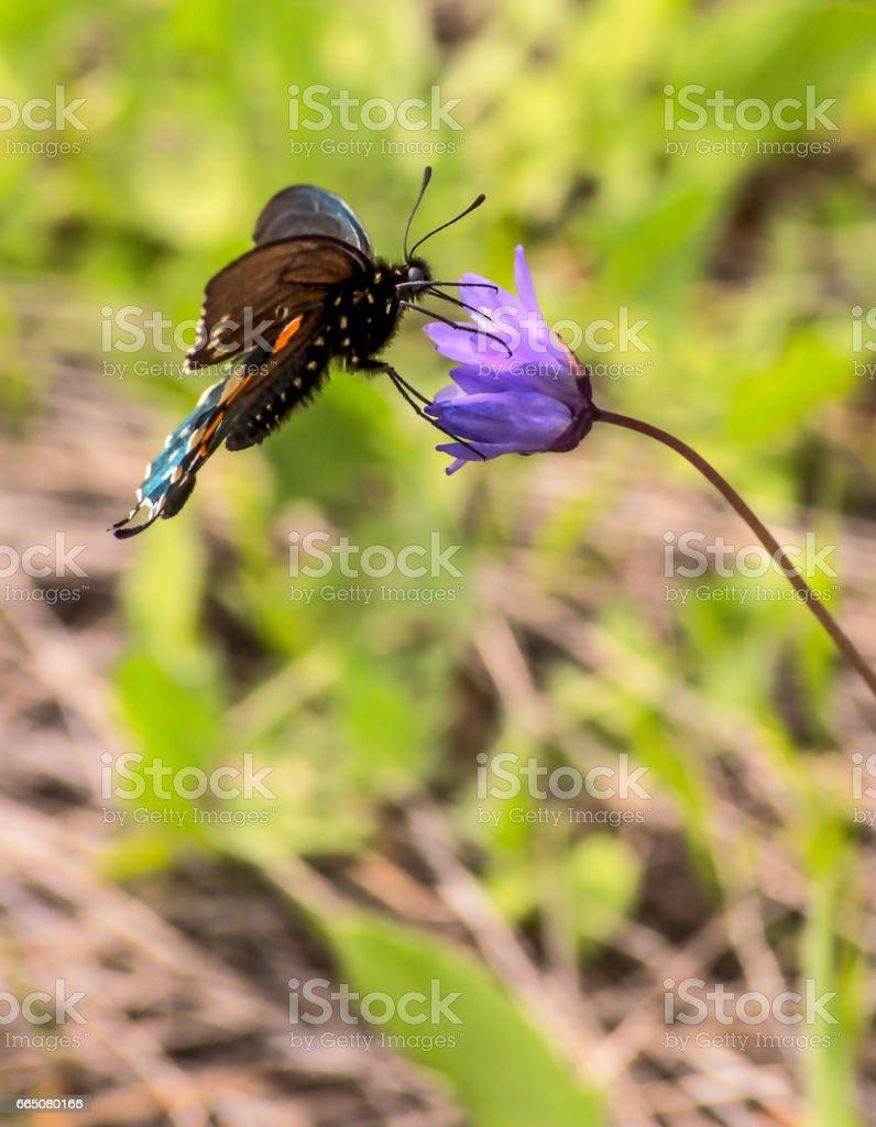 Profile of a Black Swallowtail stock photo