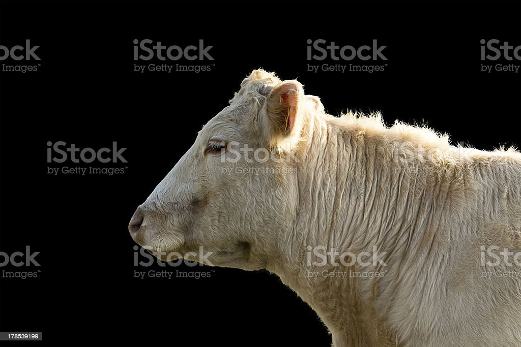profile of a Cow, isolated on black Background royalty-free stock photo