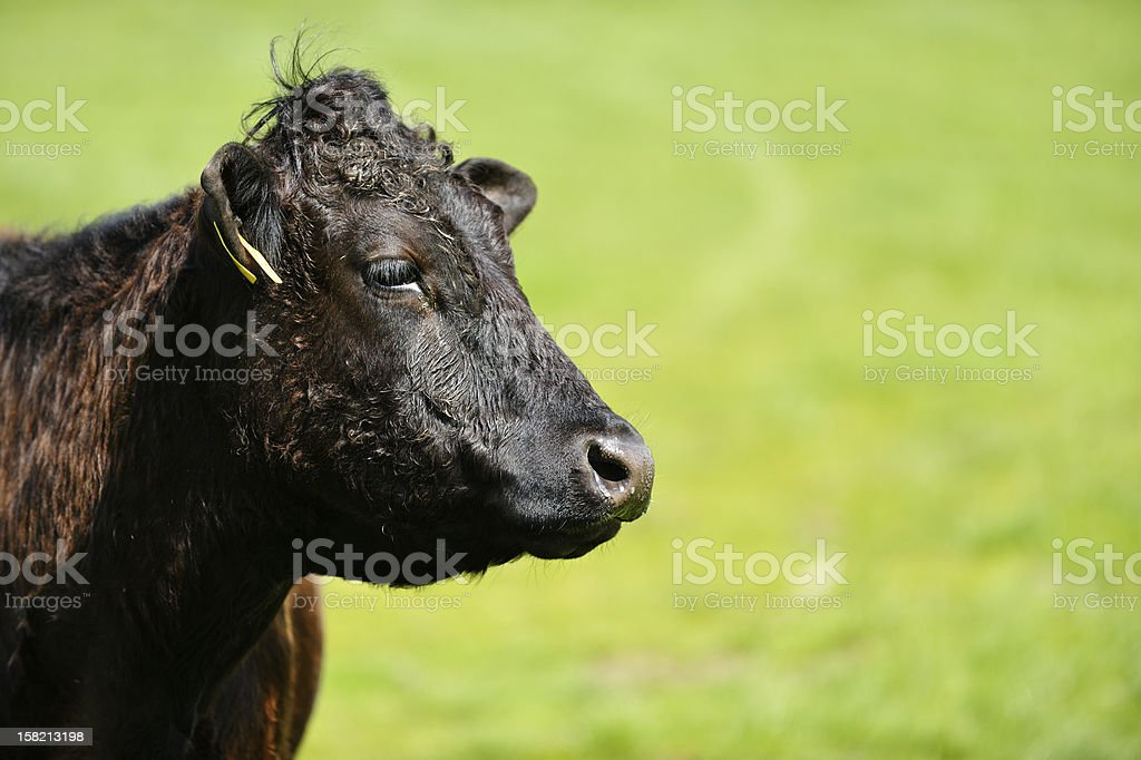 Profile of a cow standing in a field stock photo
