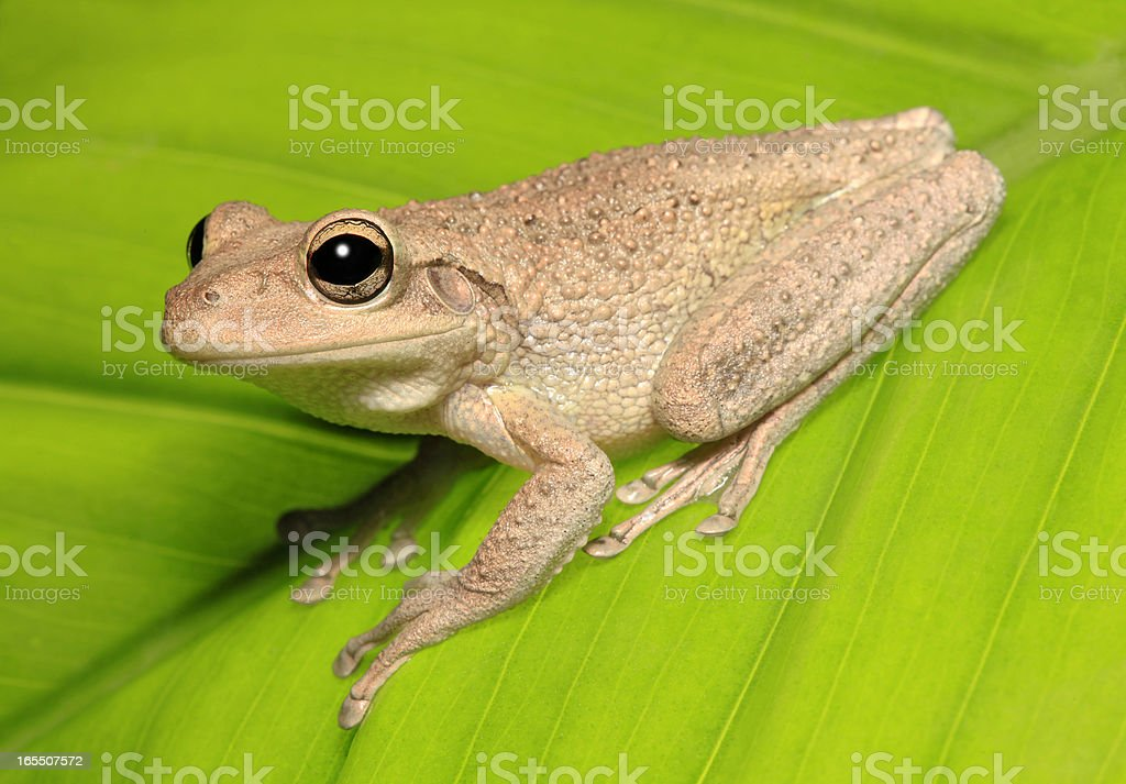 Profile of a Cuban Tree Frog on Green Leaf stock photo
