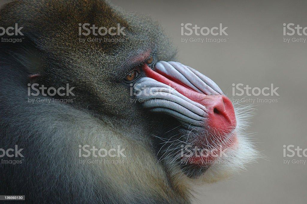 Profile of a mandrill stock photo