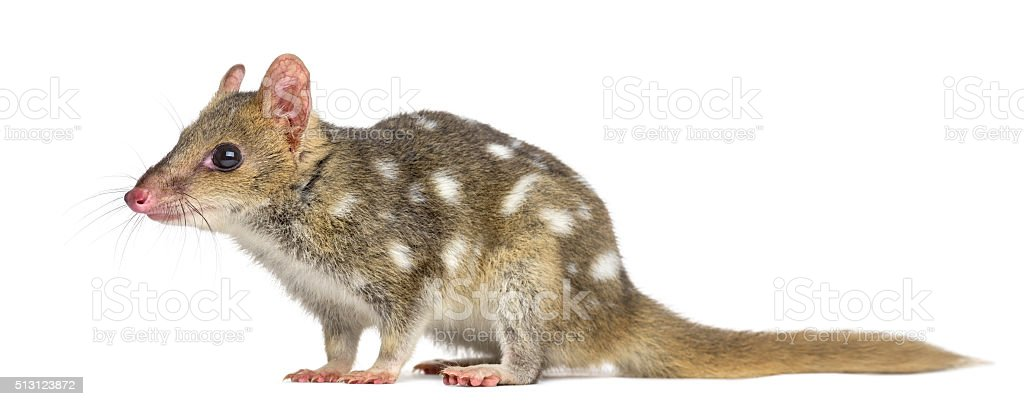 Profile of a Quoll isolated on white stock photo