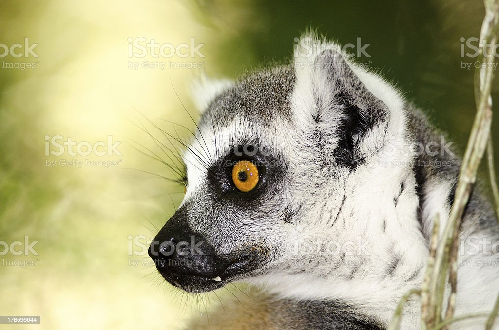Profile of a ringtailed lemur royalty-free stock photo