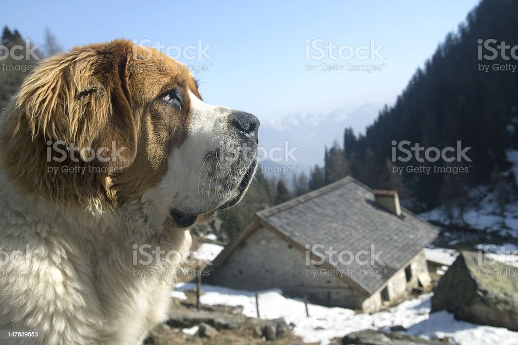 Profile of a S. Bernard dog on Alps stock photo