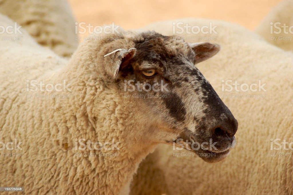 Profil owiec zbiór zdjęć royalty-free