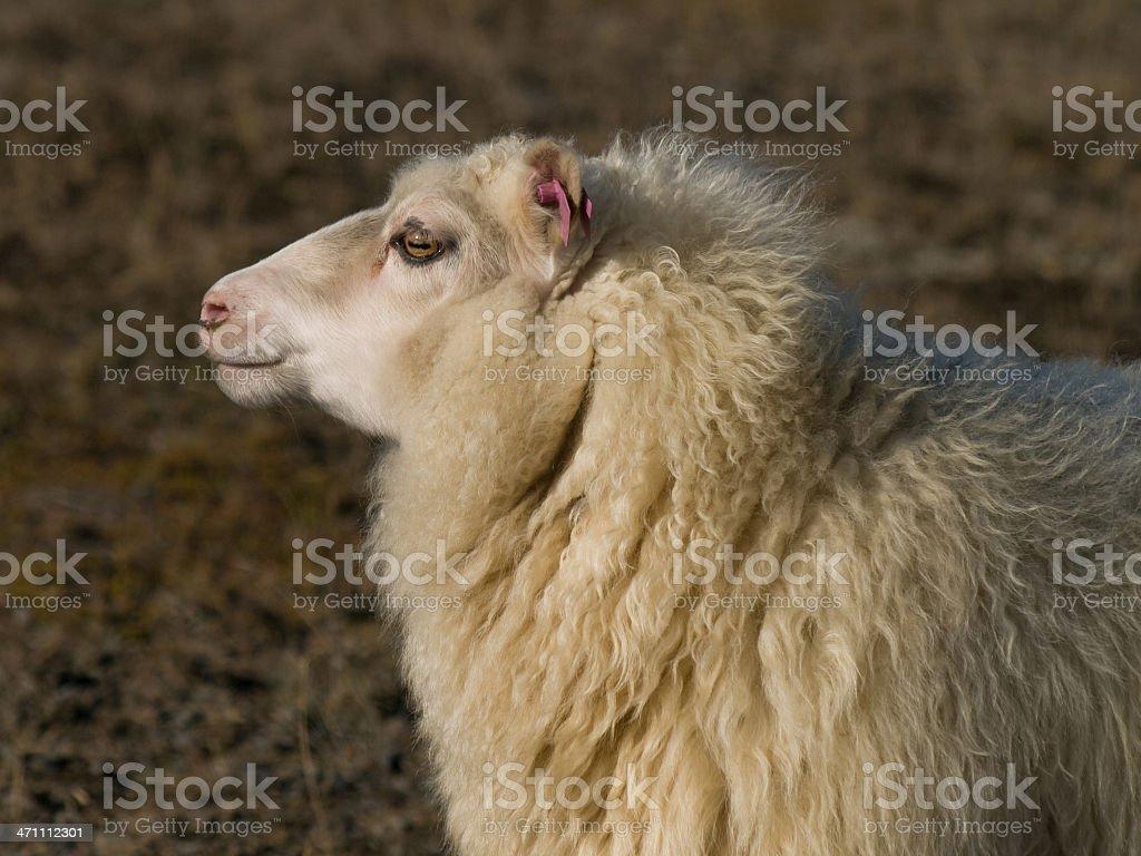 Profile of a sheep stock photo
