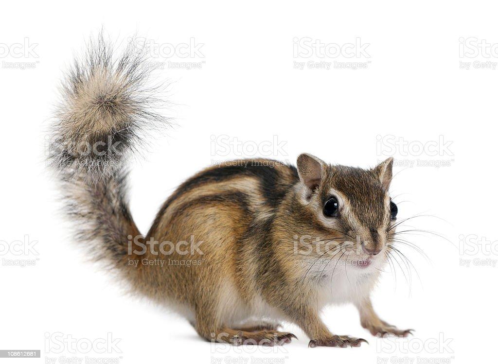 Profile of a standing Siberian Chipmunk Euamias sibiricus stock photo
