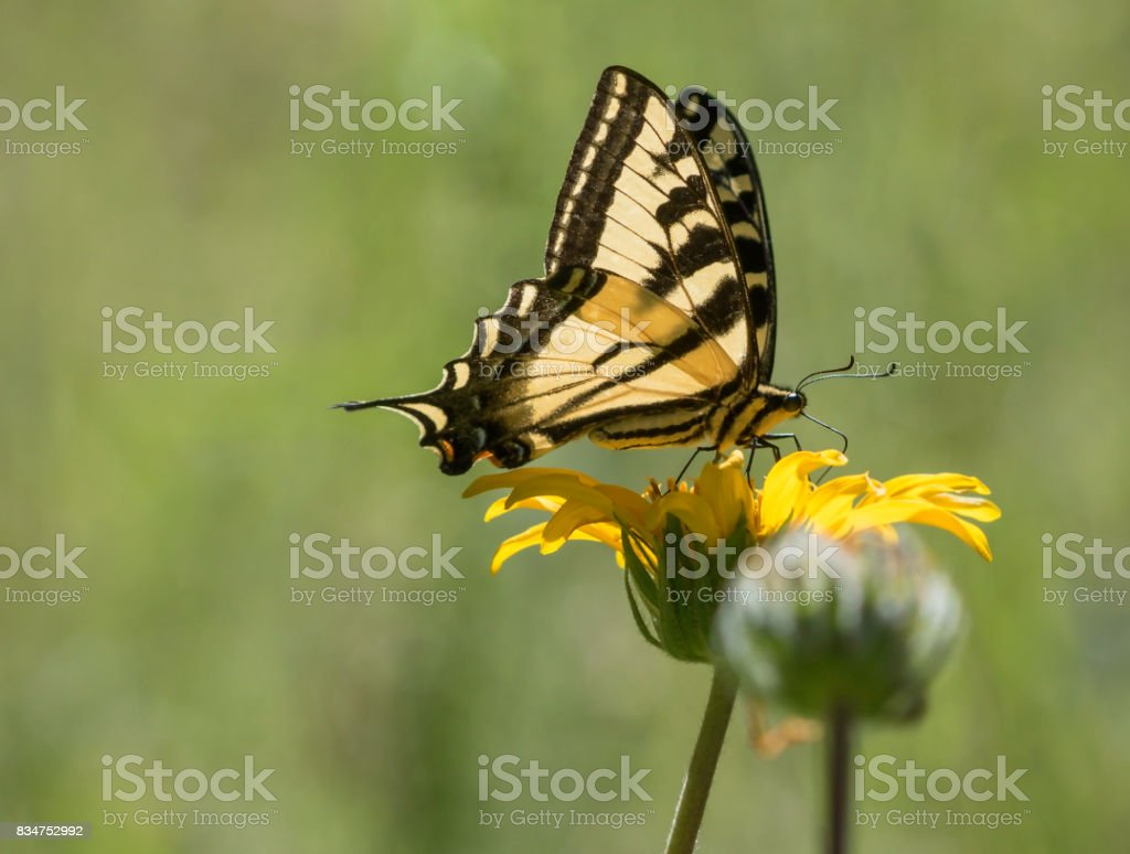 Profile of a Tiger Butterfly stock photo