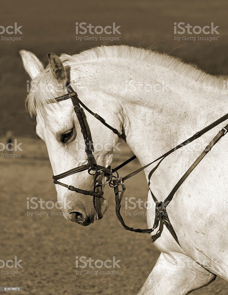 Profile of a white horse royalty-free stock photo
