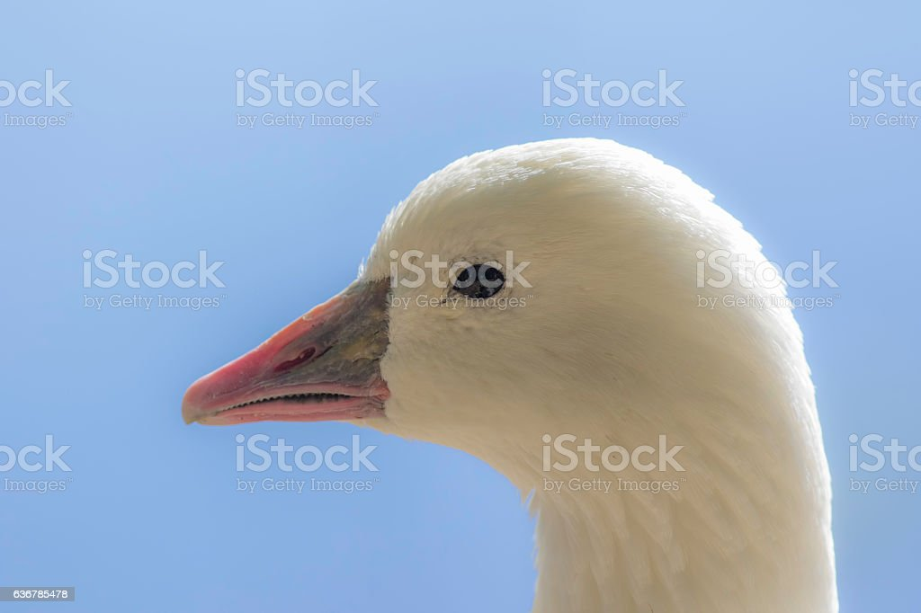Profile of a white Ross's goose (Chen rossii) stock photo
