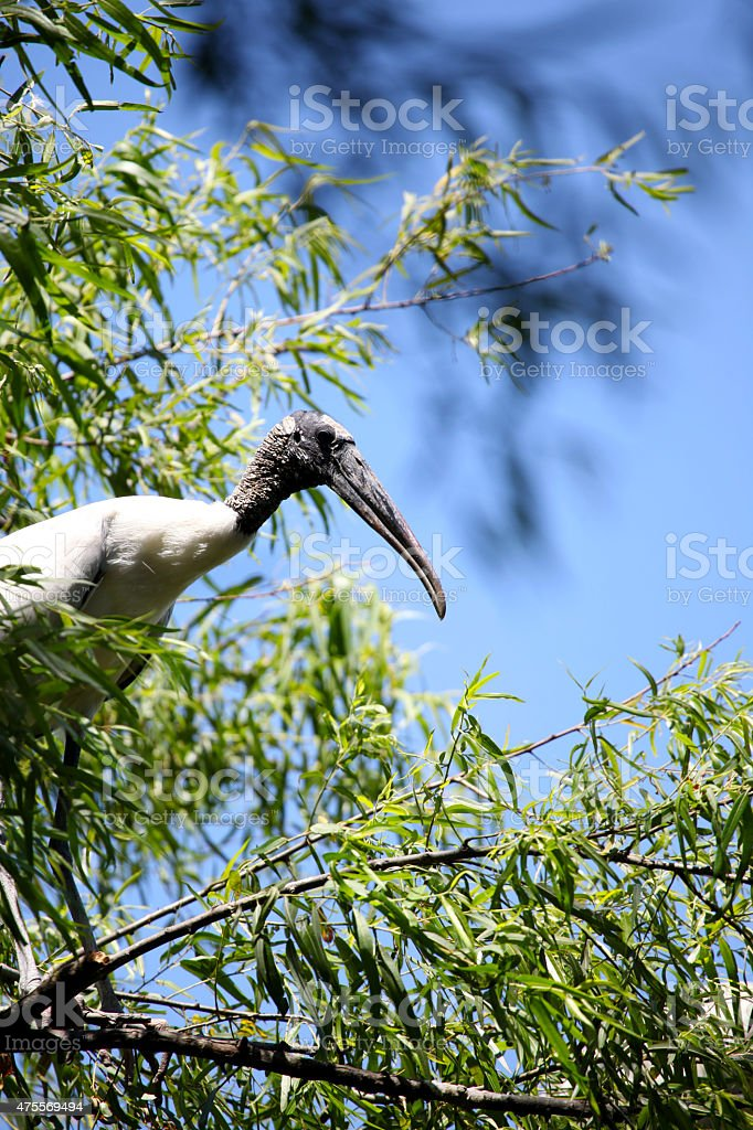 Profile of a Wood Stork stock photo