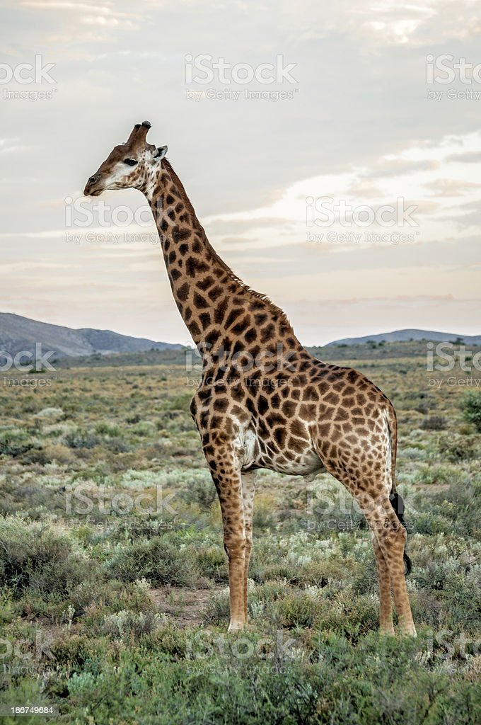 Profile of an African Giraffe royalty-free stock photo