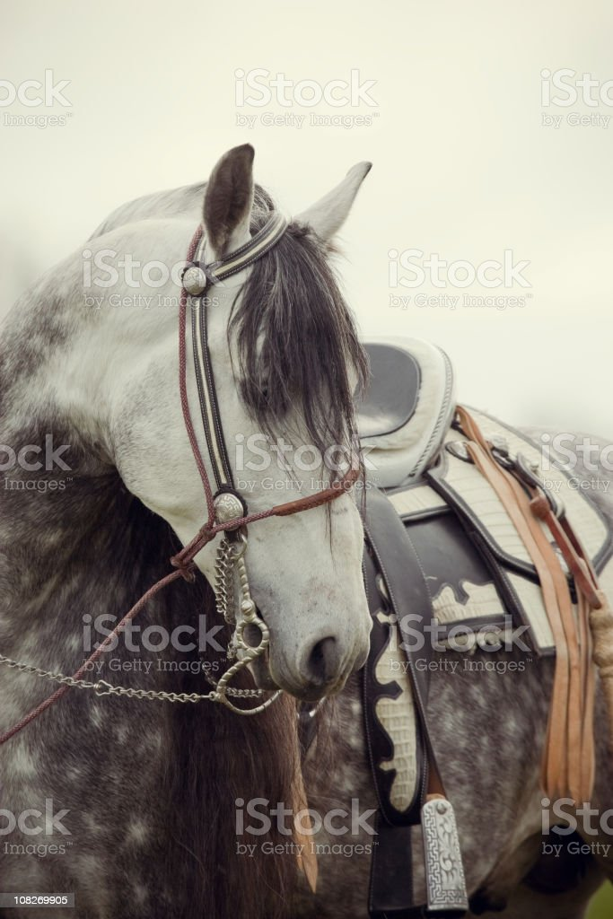 Profile of an Andalusian Stallion stock photo