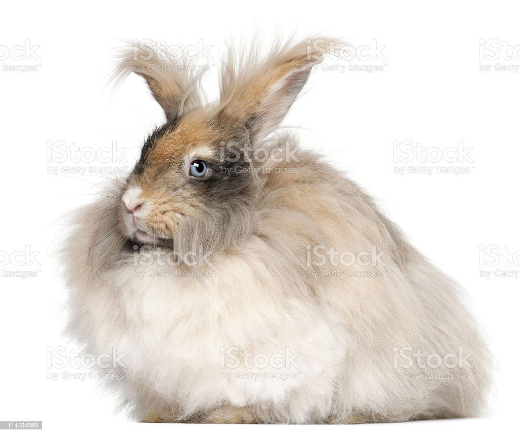 Profile of an English Angora rabbit, white background. stock photo