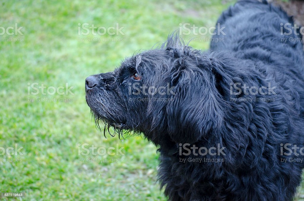 Profile of an old and dirty black dog royalty-free stock photo