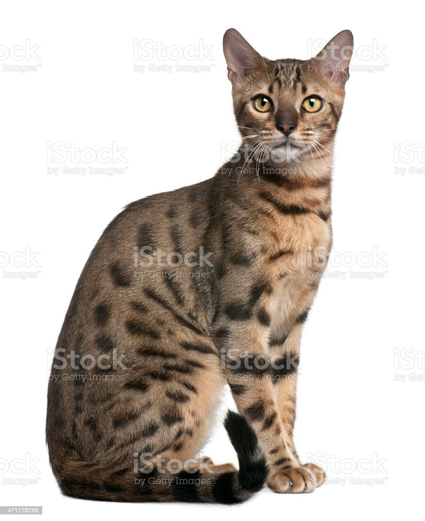 Profile of Bengal Cat, sitting and looking at the camera. stock photo