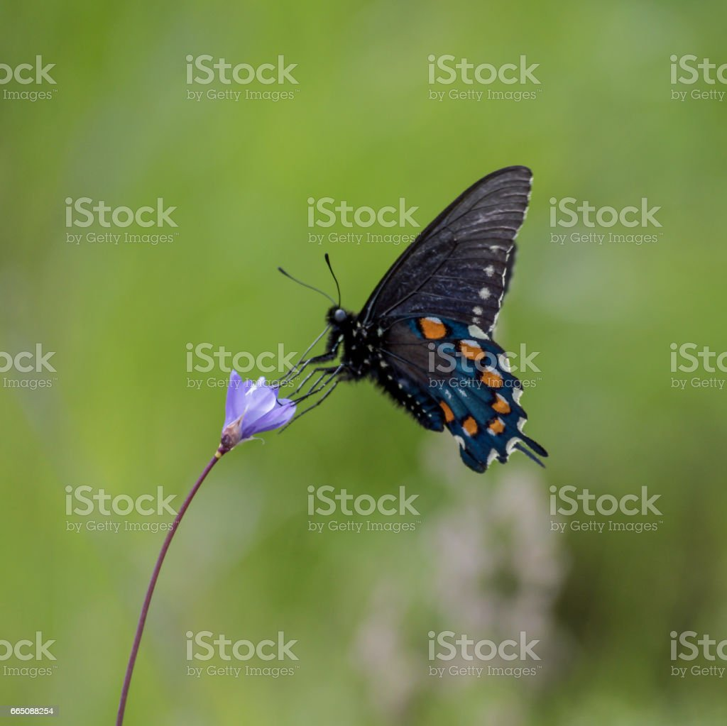 Profile of Black Swallowtail Butterfly Gathering Nectar from Purple WildFlower stock photo