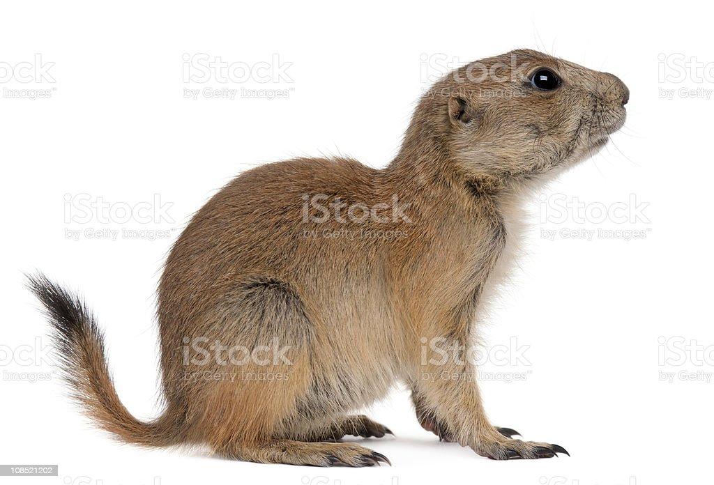 Profile of Black-tailed prairie dog, Cynomys ludovicianus, sitting. stock photo