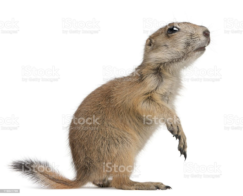 Profile of Black-tailed prairie dog, standing on hind legs. stock photo