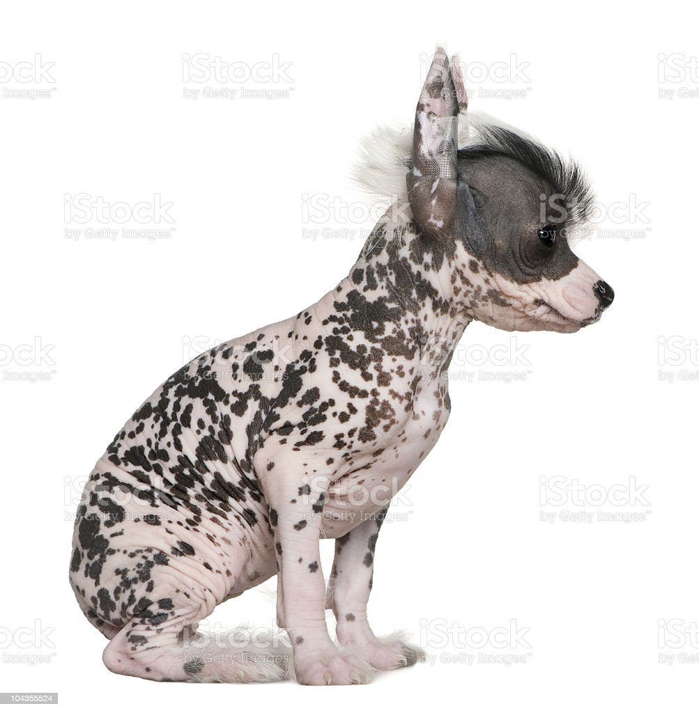 Profile of Chinese hairless crested dog, 6 weeks, sitting. stock photo