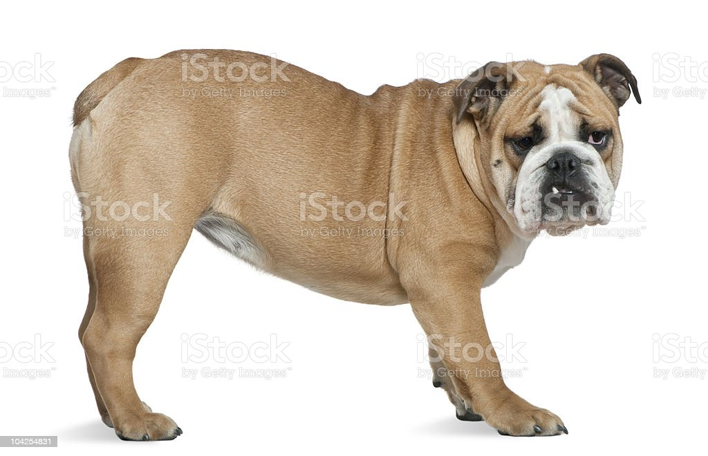 Profile of English bulldog, standing and looking at the camera. stock photo