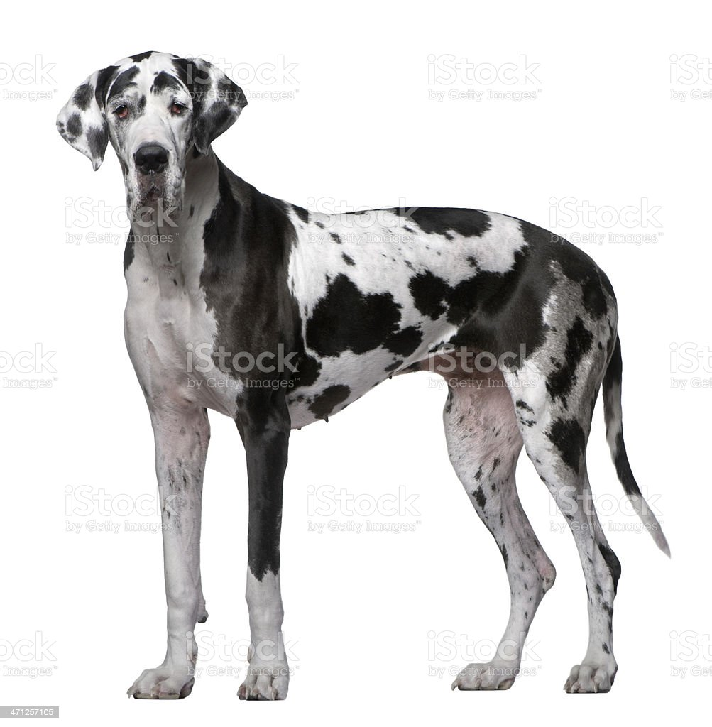 Profile of Great Dane, standing and looking at the camera. stock photo