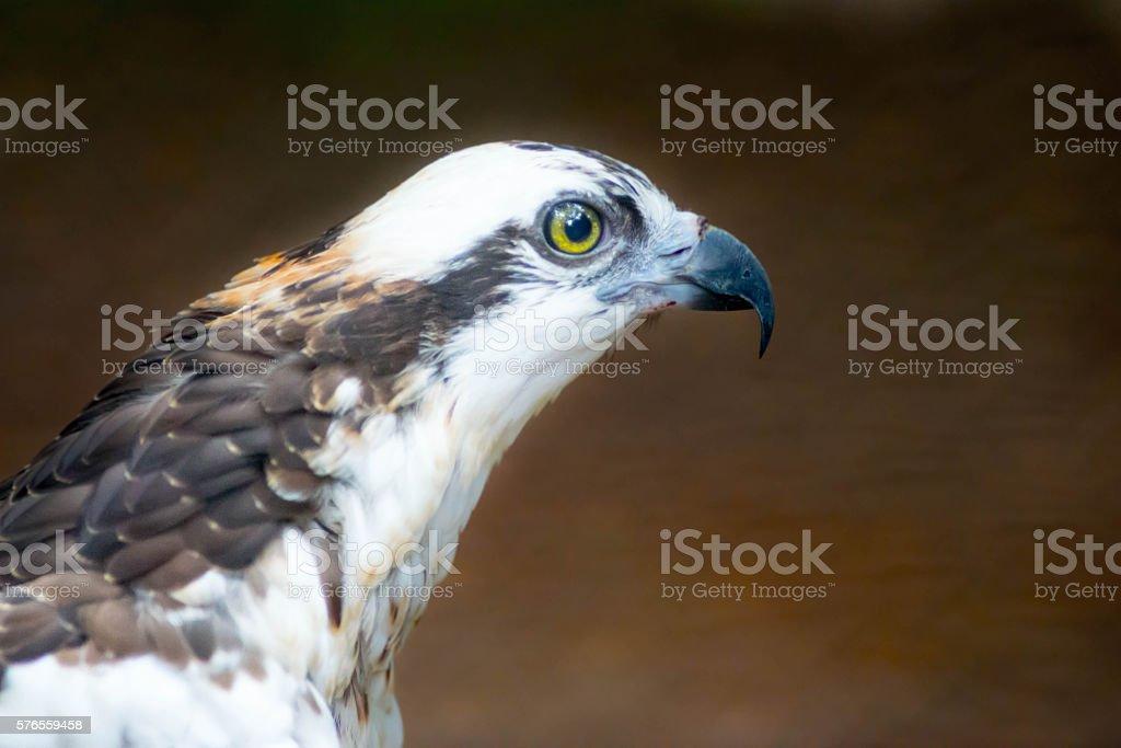 Profile of Hawk stock photo