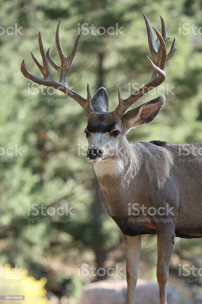 Profile of Large Mule Deer Buck stock photo