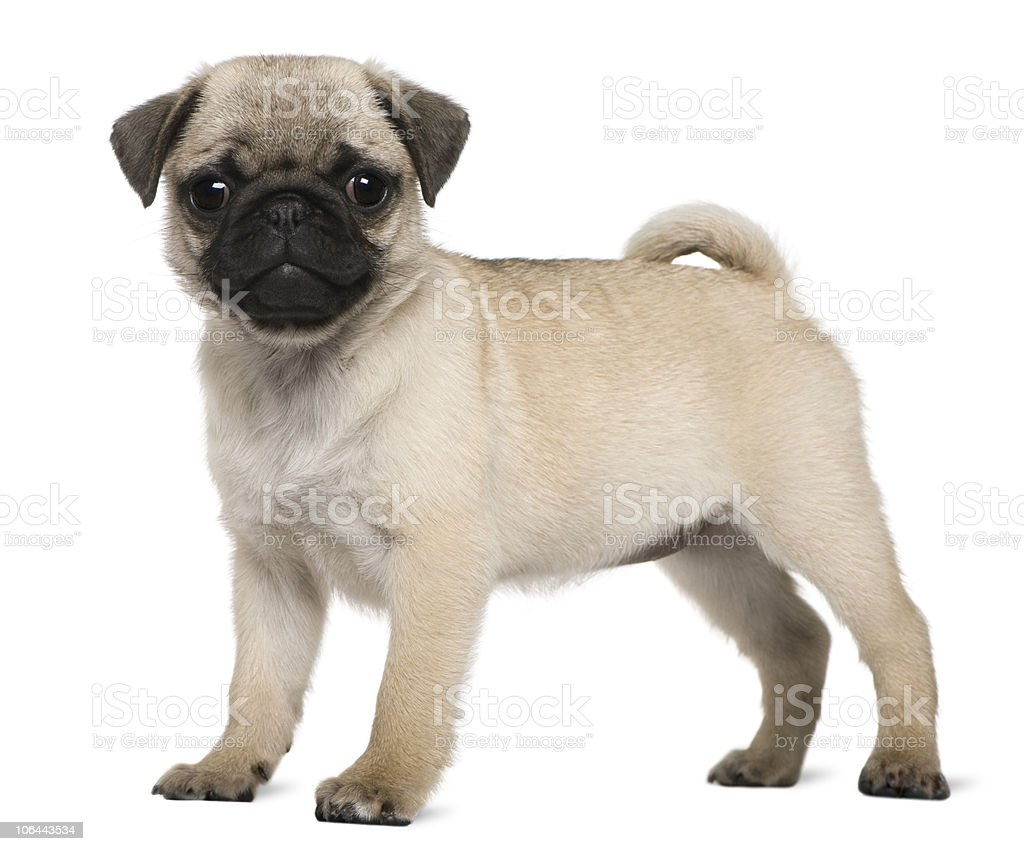 Profile of Pug puppy, 3 months old, standing. royalty-free stock photo