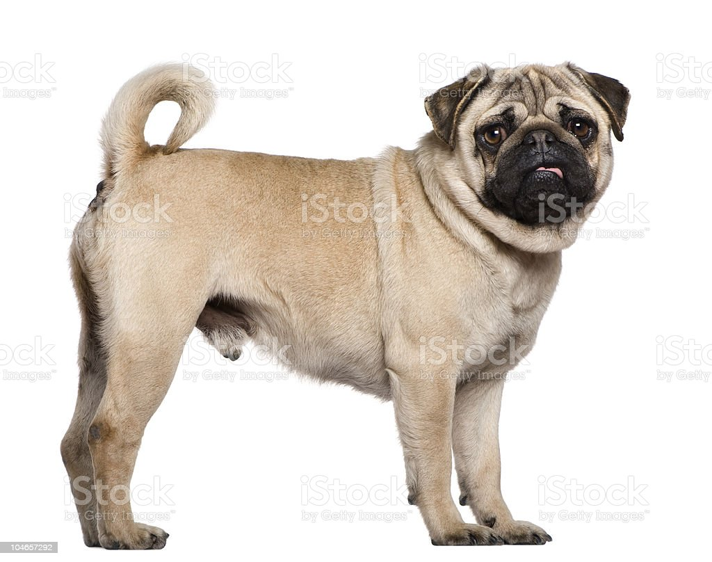 Profile of Pug, standing and looking at the camera. stock photo