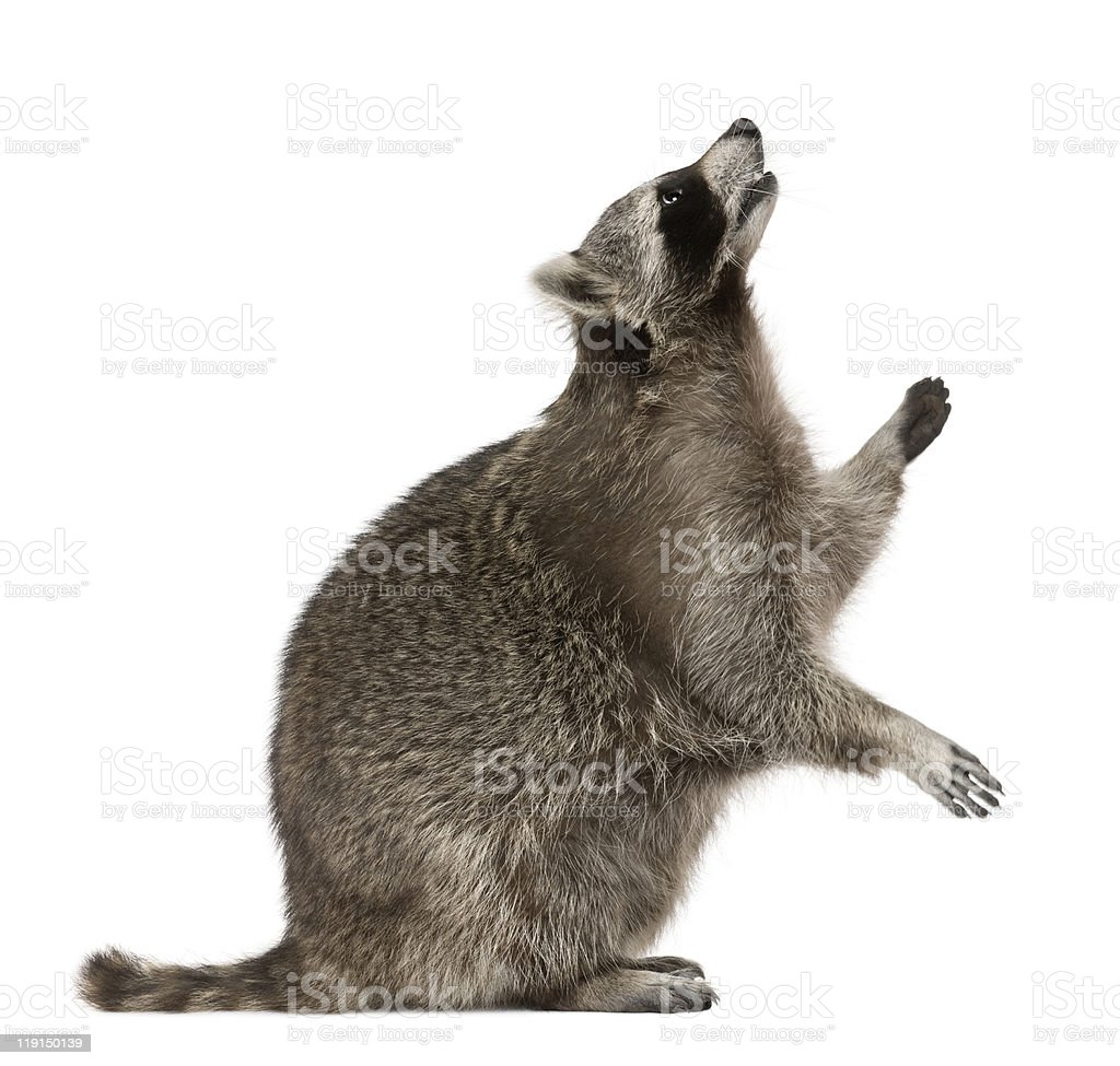 Profile of Raccoon, standing and looking up. stock photo