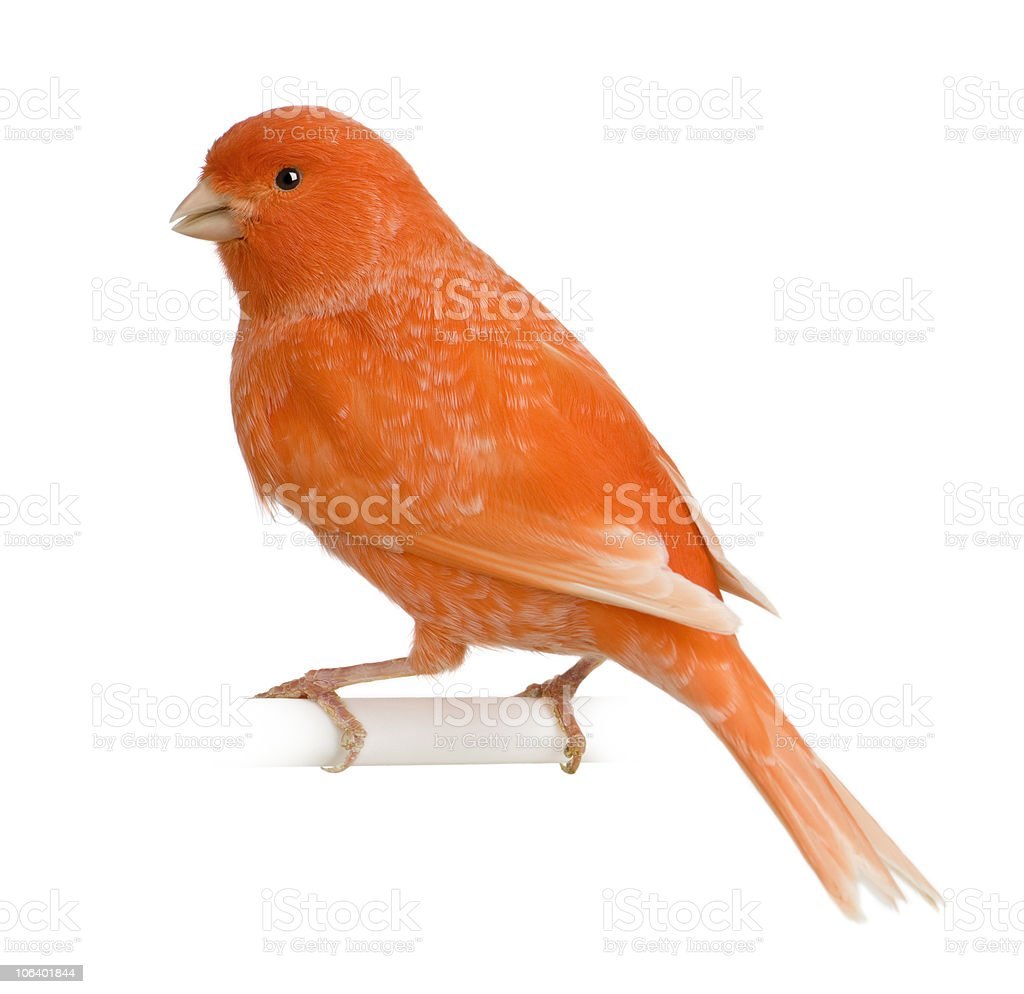 Profile of Red canary, Serinus canaria, perched. stock photo