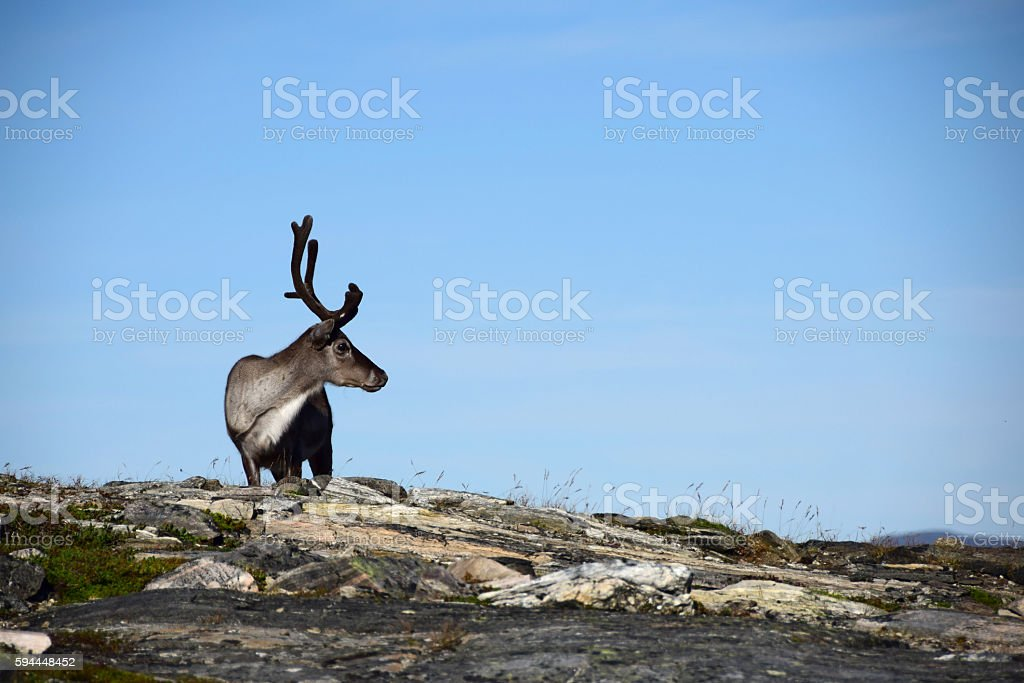 Profile of Reindeer in Hammerfest, Norway stock photo