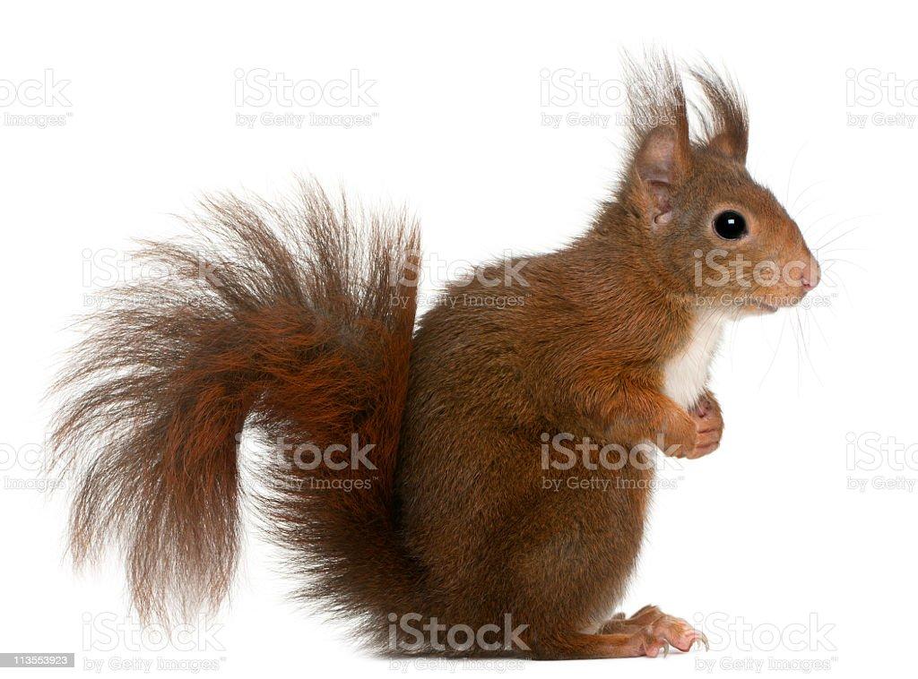 Profile of Sciurus vulgaris, or Eurasian red squirrel stock photo