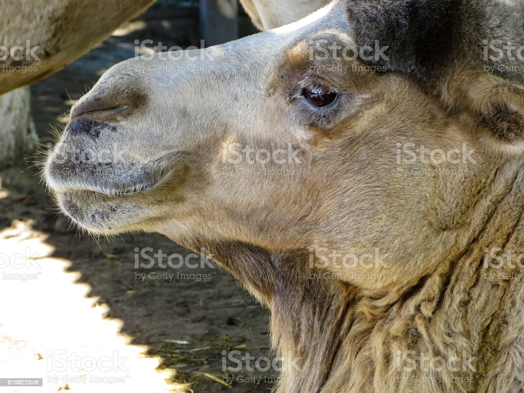 Profile of the camel at the zoo stock photo