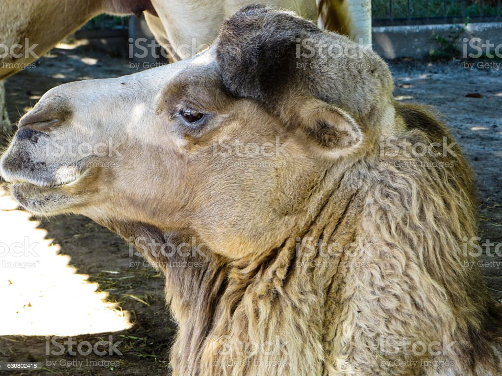 Profile of the camel stock photo