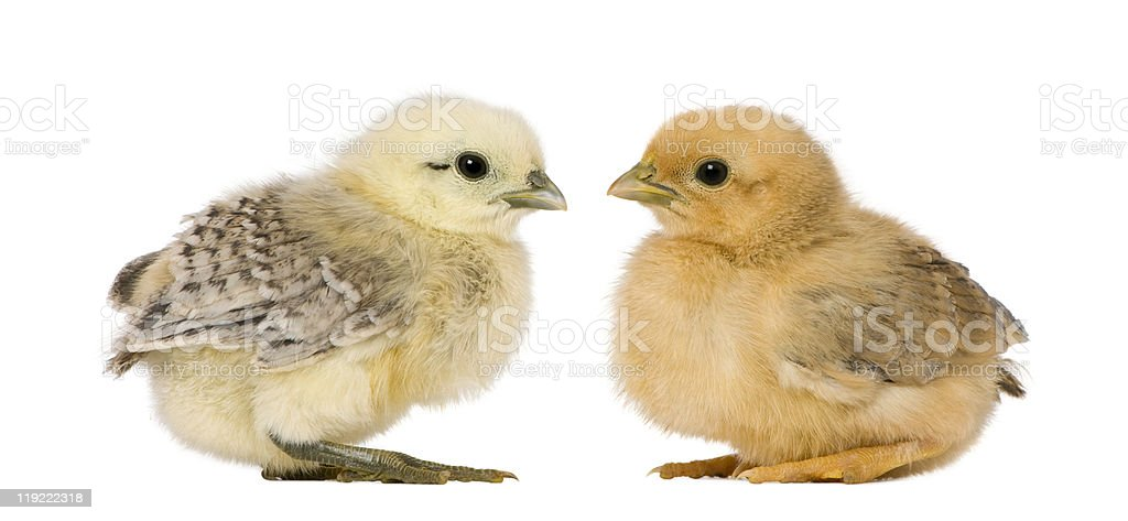 Profile of Two chicks, standing and looking at each others. royalty-free stock photo
