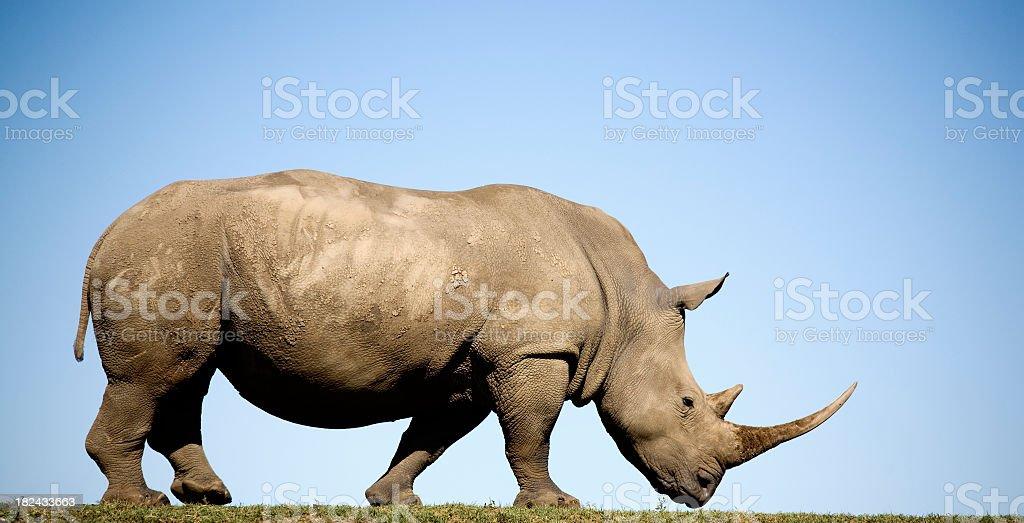 Profile of white Rhino ceratotherium simum on flat plain stock photo
